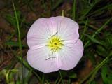 Showy Evening Primrose