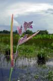 Powdery Alligator Flag (Thalia dealbata)