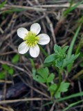 Buttercup - white variant