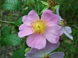 Climbing Rose (Rosa setigera)