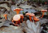 Cinnabar Red Chanterelles (Cantharellus cinnabarinus)