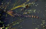 American Alligator - hatchling