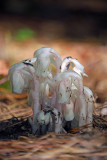 Indian Pipes (Monotropa uniflora)