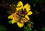 Fiery Skippers courting