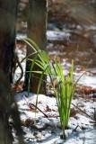 Dwarf Palmetto in the snow