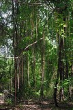 Lianas in the woodland in unit 9.