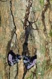 Pleasing Antlion (Glenurus gratus)