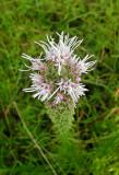 Prairie Blazing Star (Liatris pycnostachya) - pale form