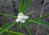 Smut on Cyperus pseudovegetus