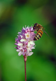 Honeybee on Pennsylvania Smartweed