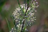 Longleaf Milkweed (Asclepias longifolia)