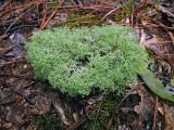 Reindeer Lichen (Cladonia species)