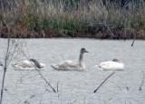 Tundra Swans - juveniles
