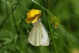 Buttercup White