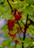Wet Red Currants
