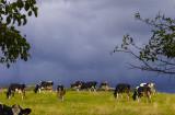 Storm Cows