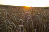 Sundown over the Wheat Field