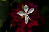 White Gaura