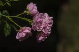 Mini Roses in Evening Light