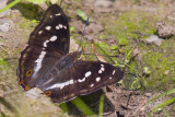 Purple Emperor (Female)