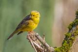 Yellowhammer  (Male)