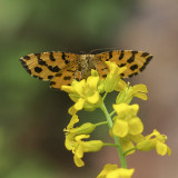 Speckled Yellow Moth