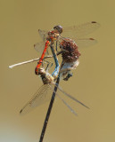 Red Darters