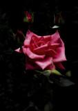 A Rose for Paris