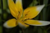 Tulipa tarda.