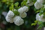 Snowball Bush Balls