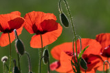 Poppies in Morning Light