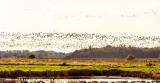 More geese flying in
