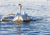 Swans fighting