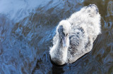 A very young black swan