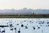 Swans at Martin Mere
