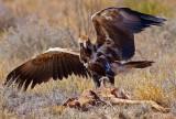 Juvenile Wedge Tail Eagle