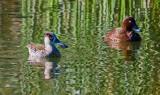 Pink Eared and White Eyed (Hard Head) Ducks