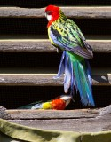 Eastern Rosella by the Tail Feather!