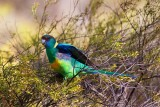 Yellow Ringnecked Parrot