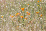 California Poppies (Eschscholzia californica) in grasses