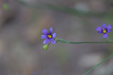 Blue-eyed Grass with insect larva