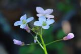 Milkmaids (Cardamine californica)
