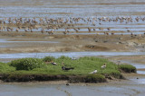 Black Skimmers, avocets and godwits