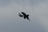 American Crow attacking Common Raven