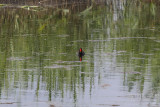 Common Gallinule (after the birdathon ended)