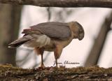 Épervier de Cooper (Cooper's Hawk ( Male)
