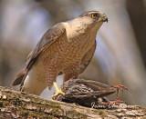 Épervier de Cooper (Cooper's Hawk ( Predator )