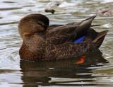 Canard Noir Pas vue depuis 28-OCT-2007 ( American Black Duck)