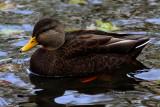 Canard Noir ( American Black Duck)