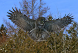 Chouette Lapone Great Grey Owl